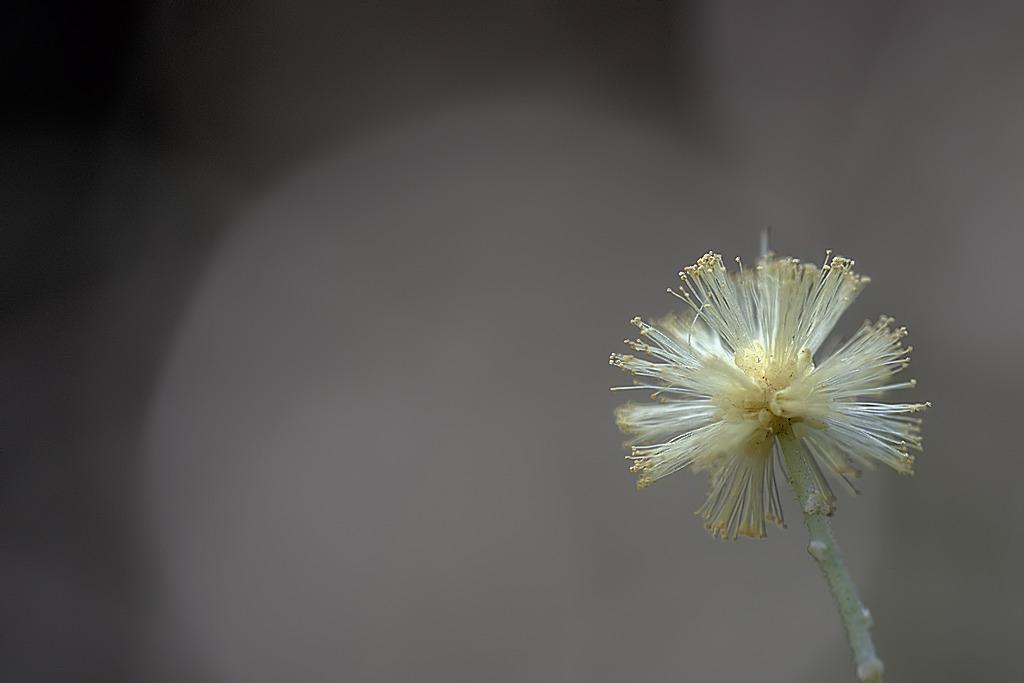 Macro phot, fleur de Mimosa